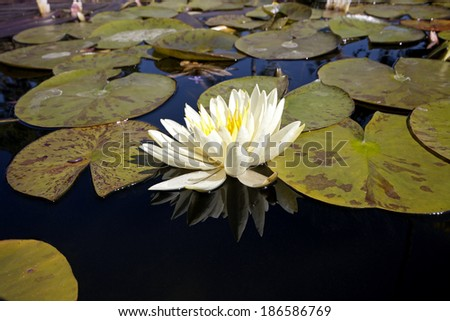 Water lily and pads in the fountain at Mission San Juan Capistrano - stock photo