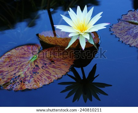 Water lily and reflection - stock photo