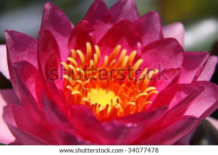 water lily blossom portrait