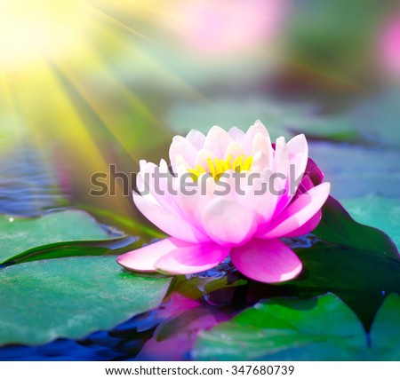 Water lily closeup in a pond. Lotus flower. Waterlilly. Waterlillies in water - stock photo