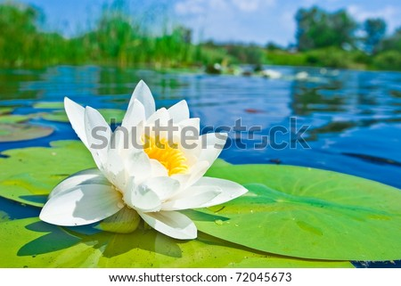 water lily floating on a lake - stock photo