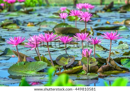 Water lily flower color presentation aligns with delicate petals bend and rise from leaves on lake and beautiful blooming - stock photo