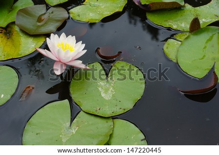 water lily flower in the forest pond