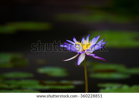 Water lily flower in the green pond - stock photo