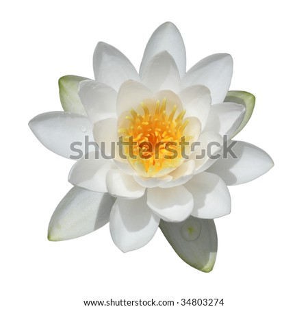 Water lily flower isolated on white background - stock photo