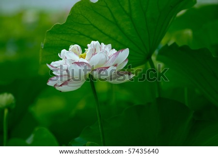 Water lily flower lotus picture - stock photo