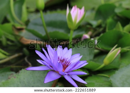 Water Lily flowers and buds,purple Water Lily flowers and buds in the pond - stock photo