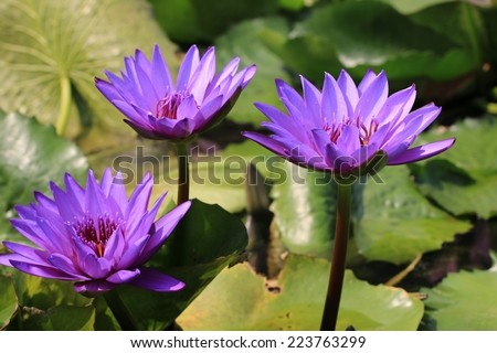 Water Lily flowers,closeup of three purple Water Lily flowers in full bloom - stock photo