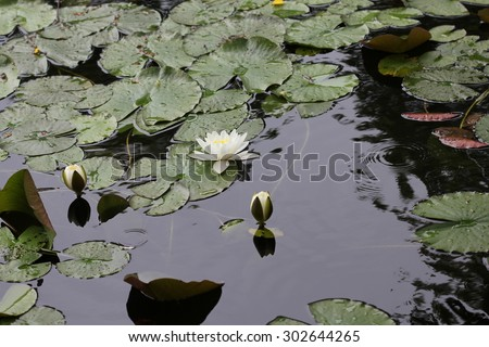 Water lily flowers on pond 7720 - stock photo
