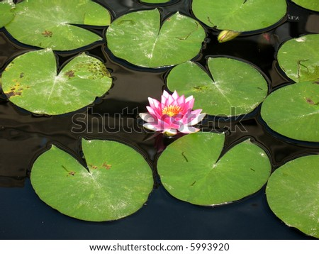 Water lily in a pond - stock photo