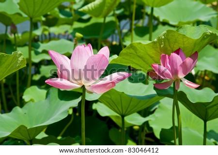 Water lily in Beijing Lotus Market - stock photo