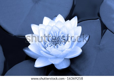 water lily in blue - stock photo
