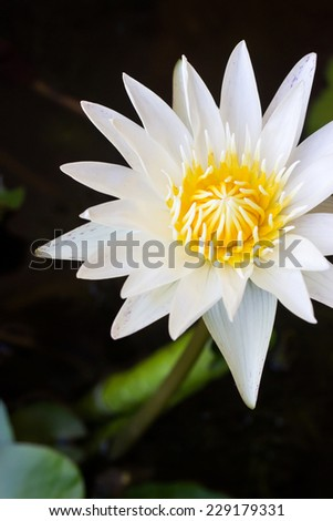 Water lily in pond - stock photo