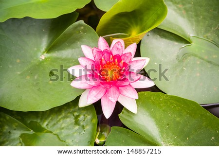 water lily in pond blooming