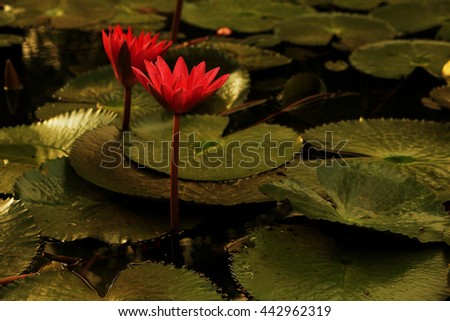 Water lily is a perennial plant that often form dense colonies. & has around  58 species in 6 genera of freshwater plants. Waxy-coated leaves on long stalks that contain many air and float  freshwater - stock photo