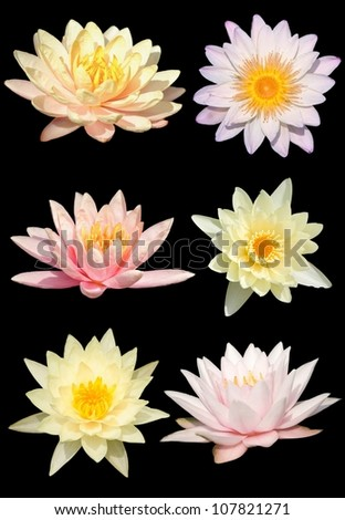 Water lily isolate on the black background - stock photo