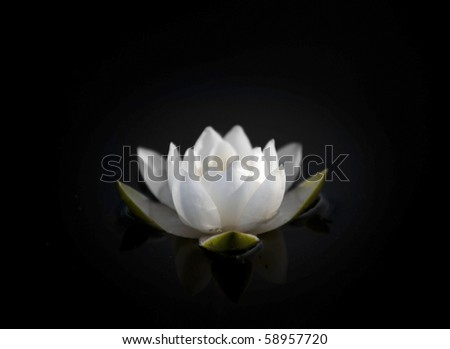 Water lily isolated on black