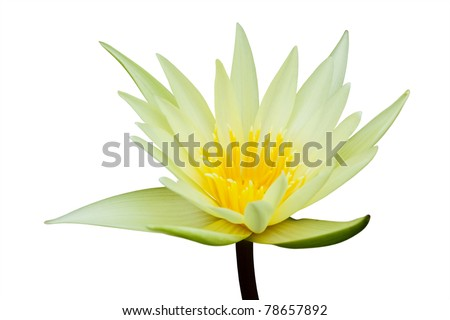 Water lily isolated on white background - stock photo