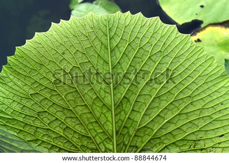 Water lily leaf - stock photo