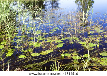 Water-lily leaves in lake - stock photo