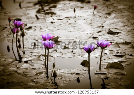 water lily lotus flower on garden