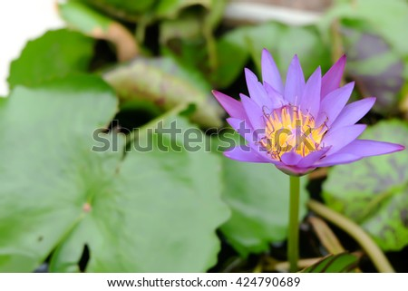 water lily, lotus in nature