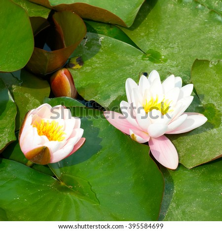 Water lily (Nymphaea alba) with green leaves in the pond - stock photo