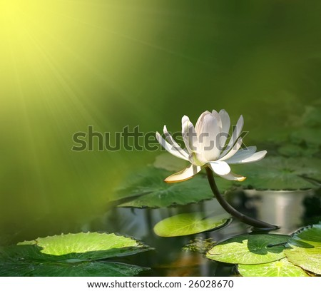 water lily on a green background - stock photo