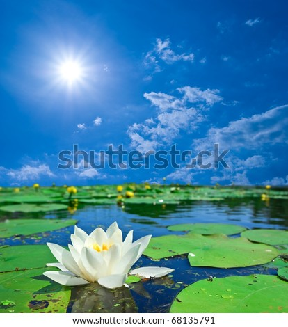 water-lily on a lake at the sunny day - stock photo