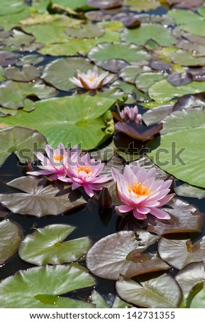 Water lily on lake in summer day, Poland - stock photo