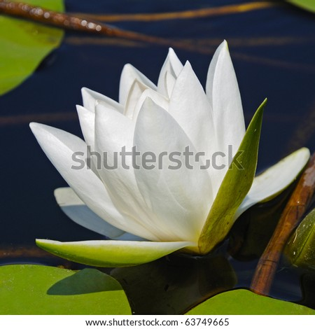 Water lily on the lake - stock photo