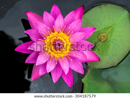 water lily on top veiw - stock photo