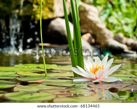 water lily on water - stock photo