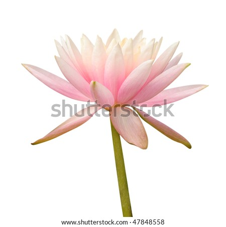 Water Lily on white - stock photo