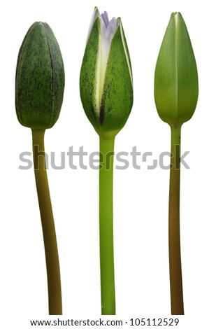 Water Lily on white background - stock photo