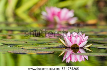 water lily's blooming in a pond