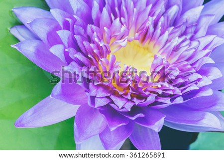 water lily vintage tone - stock photo
