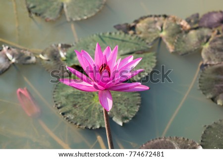 Water lily violet coloured natural habitat stock photo edit now water lily violet coloured with natural habitat background showing pools of water left after the mightylinksfo
