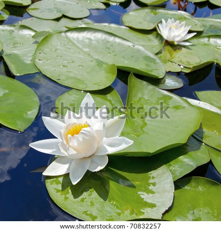 Water lily with green leaves on the lake - stock photo