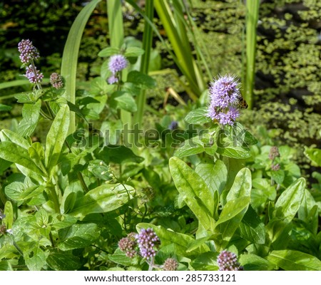 Water mint (Mentha aquatica) in flower in summer. growing in a pond. - stock photo