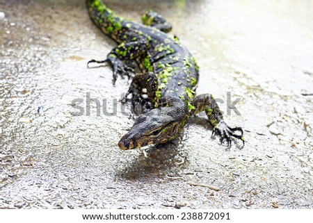 Water monitor lizard - stock photo