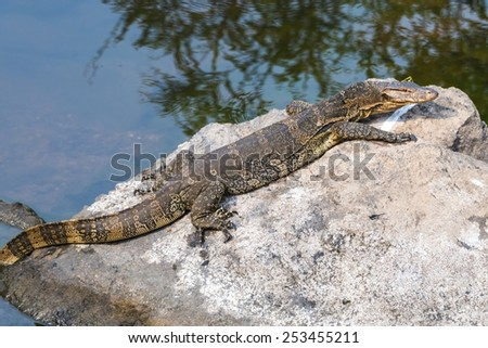 water monitor lizard in forest,Thailand - stock photo