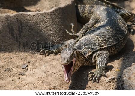 water monitor lizard (varanus salvator) - stock photo