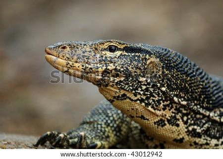 Water Monitor Lizard (Varanus salvator) in Sri Lanka - stock photo