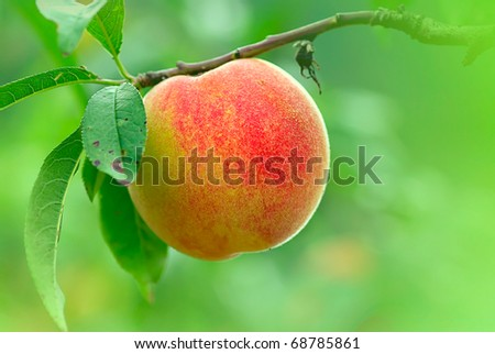 Water peaches with nice backgrund - stock photo