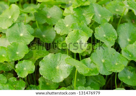 Water Pennywort - stock photo
