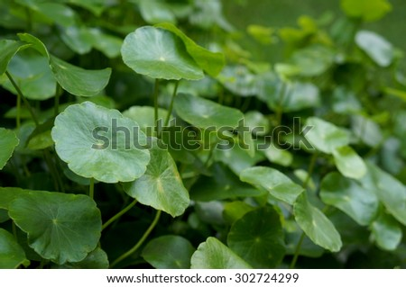 Water Pennywort or Centella asiatica leaf - stock photo