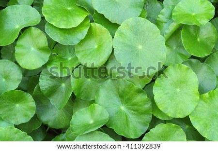 Water Pennywort or green leaf background