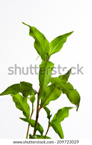 Water pepper - stock photo