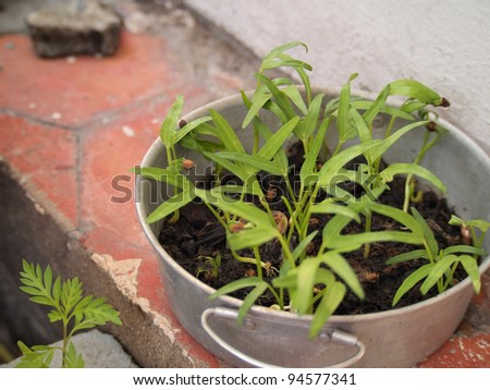 Water Spinach in pot